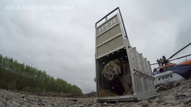 Här blir den sibiriska tigern fri