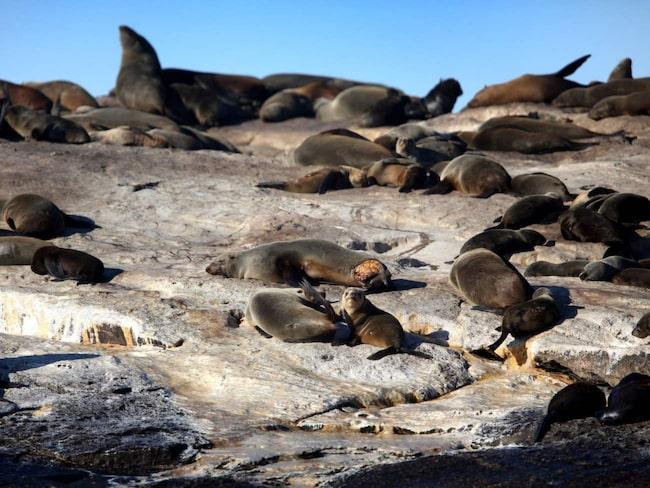 <span>Seal Island – hem åt 50 000 sydafrikanska sälar.<br></span>