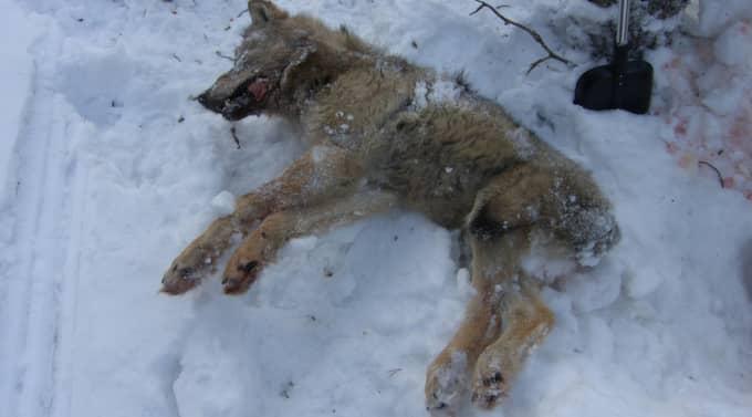 Fjolårstiken hann inte undan och blev först påkörd av skoter flera gånger innan hon klubbades ihjäl med en träpåk på sjön Fansen utanför Bollnäs. Nu misstänks två män för den plågsamma vargjakten. Foto: Polisen