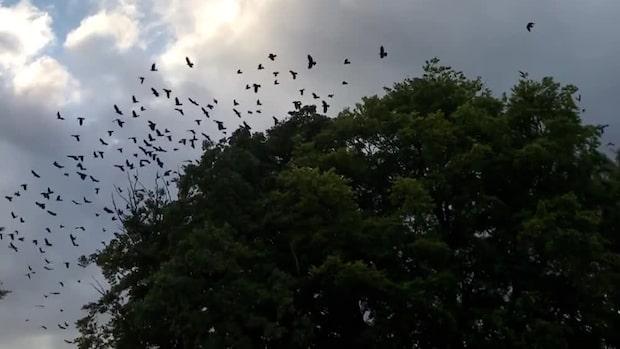 Råkor terroriserar villaområdet i Vä