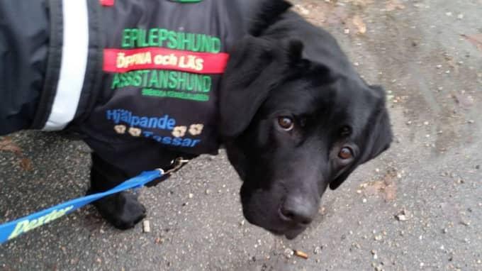 Dexter är brukshundklubbens enda kvalitetsstämplade epilepsihund - hittills. Foto: Privat