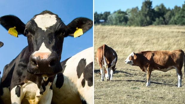 Forskarnas varning: Nästa pandemi kommer från köttindustrin
