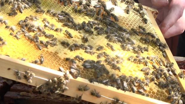 Per Thunman visar upp sina 30 000 bin och berättar om sin biodling