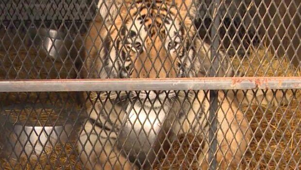 Bröt sig in i övergivet hus - hittade en tiger