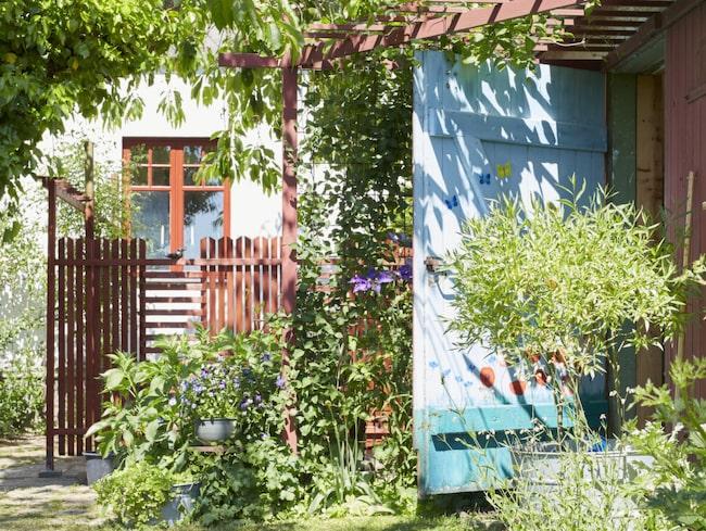 På pergolan som skapar en skuggig entré till galleriet i uthuset slingrar sig en lilablommande klematis. Dörren är målad av dottern Josefin som är konstnär.
