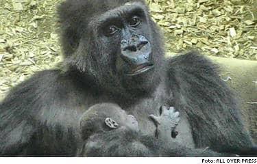 Gorillahonan Naomi får inte träffa sin nyfödda unge. Läkarna misstänker att ungen lider av en okänd sjukdom.