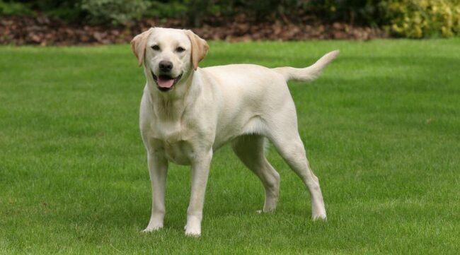 Labrador - en mycket populär hundras.