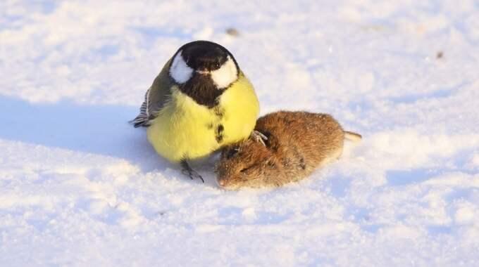 Verklighetens angry bird? Foto: Sami Majoinen