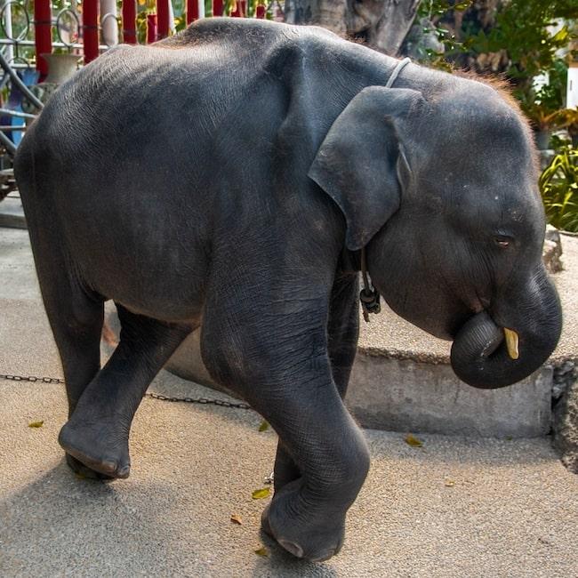 Efter upptäckten av de två brutna benen levde Dumbo bara tre dagar.