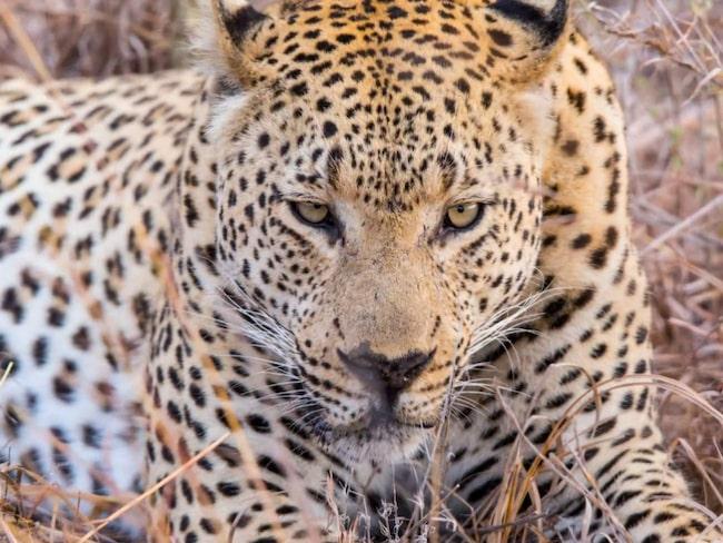 <span>Leoparderna var safarits höjdpunkt enligt Tyler.</span>