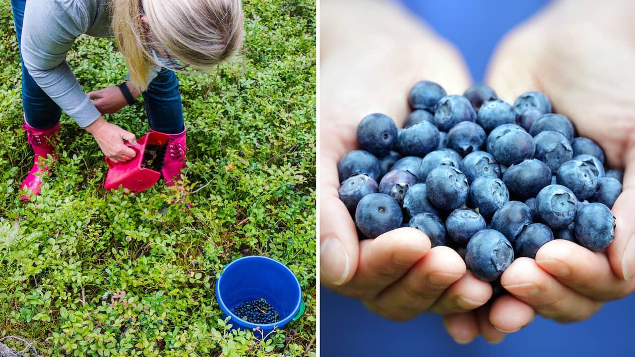 Rensa blåbär snabbt – och tips när du ska | Leva & bo