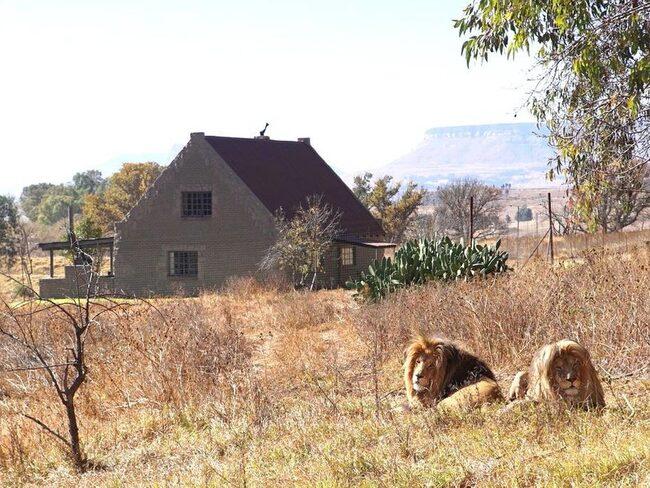 """På boendet """"Lion house"""" i Harrismith, Sydafrika sover du bokstavligen med lejon runt husknuten."""