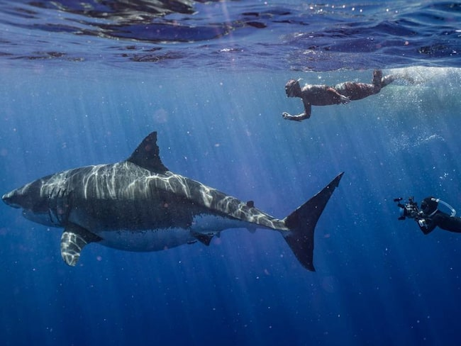 Vithajen, känd som Deep Blue, är sju meter lång.