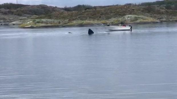 Hajen fastnade inne i viken