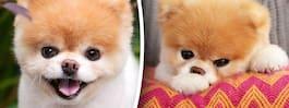 Världskända hunden Boo har dött –älskad av miljoner