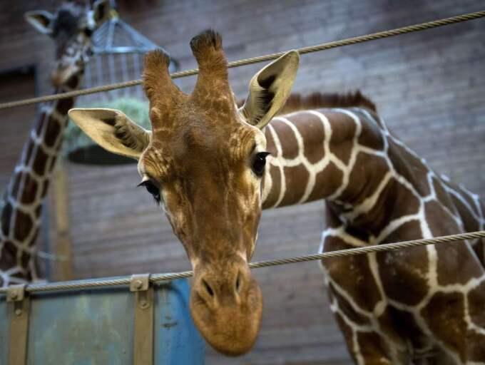 Zoo tidningen krok upp skotsk matchmaking