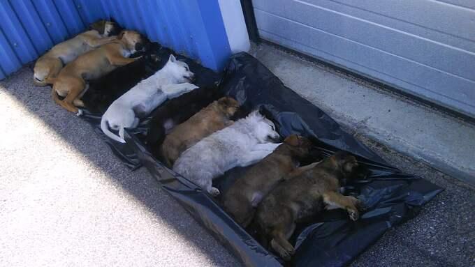 Många av de hundar som smugglas till Sverige är i så dåligt skick att de måste avlivas. Foto: Jordbruksverket