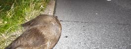 Vildsvin orsakade  större trafikolycka