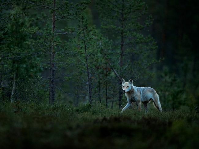 I Finland är 73,1 procent av ytan täckt av skog.