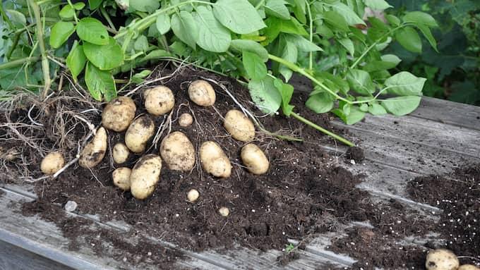 Potatisen firas med en egen festival.