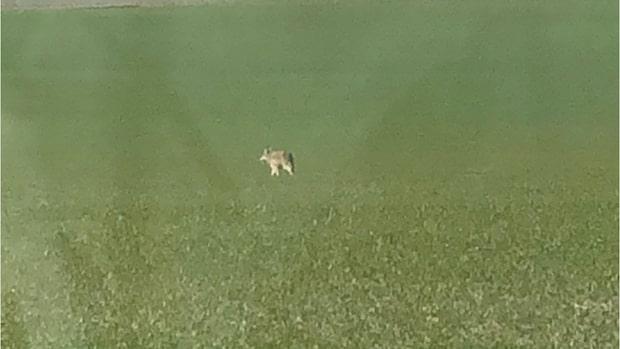 Här fångas vargen på film i Skåne