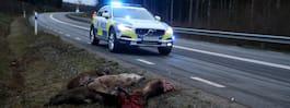 Bil krockade med fem vildsvin  – flera döda djur mitt på vägen
