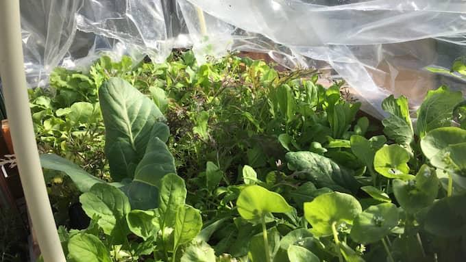 Själv försöker hon odla så mycket hon kan – allt från potatis och tomat till sallad och kål. Foto: Privat