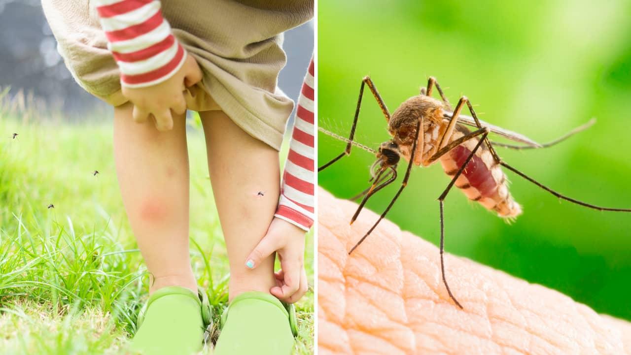 vad dras myggor till