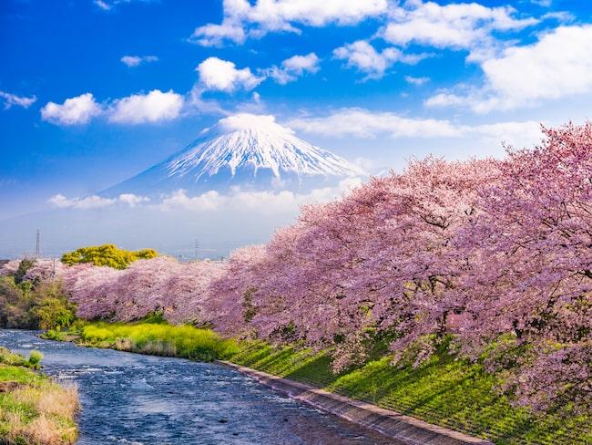 Just nu står körsbärsträden i Tokyo i full blom.
