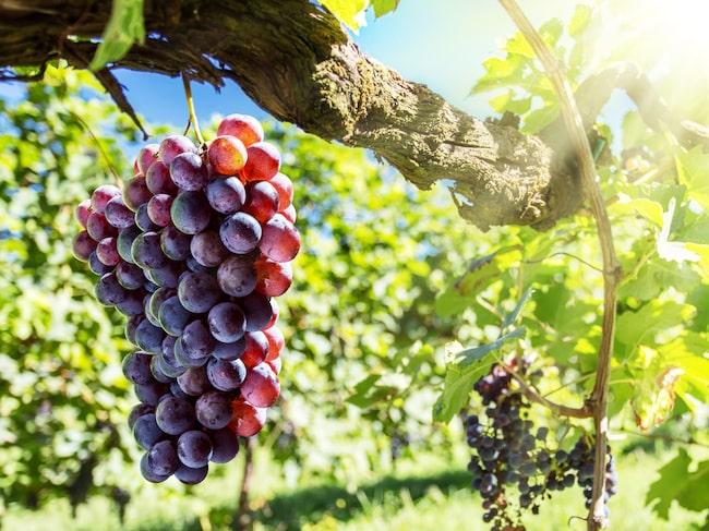 Anthocyanin är ett färgämne som finns naturligt i de blå druvornas skal, och bidrar till den blå färgen i blått vin.