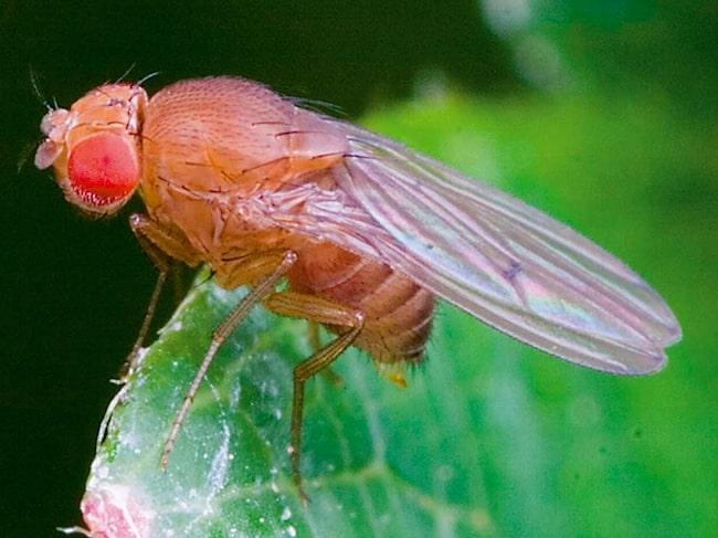 Bananflugorna är relativt enkla att bli av med om man ser till att slänga sopor och inte låter disk stå framme.