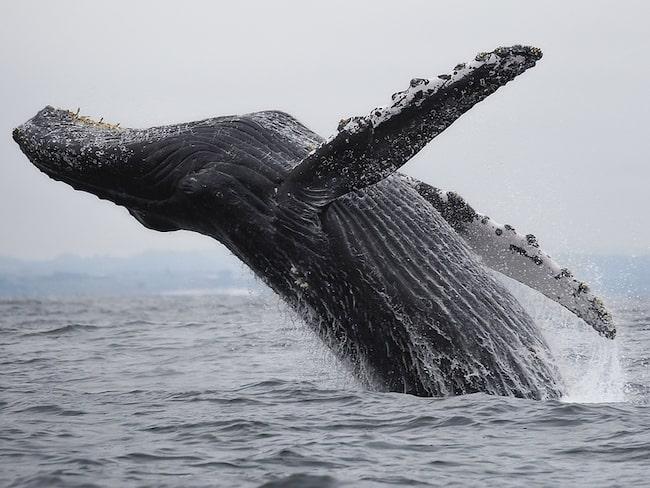 I och kring Monterey vid Kaliforniens kust finns ett rikt djurliv –och valar är ingen omöjlighet att sikta om man ger sig ut till havs.