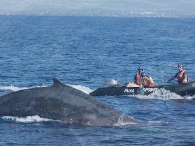 Knölval satt fast i en 87 meter lång fiskelina - räddades