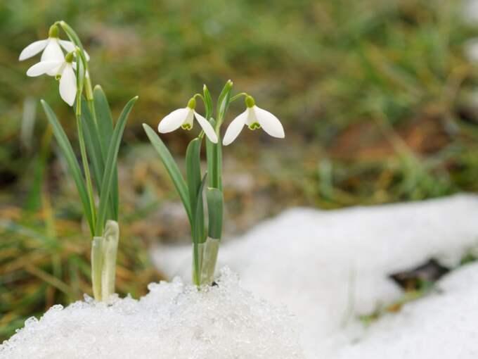 Klockan 19.30 hoppas SMHI kunna deklarera att den meteorologiska våren kommit till Sverige. Foto: Colourbox.