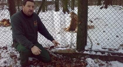 Johan Lindström visar upp platsen där vargarna bet hål på stängslet. Foto: Skånes Djurpark
