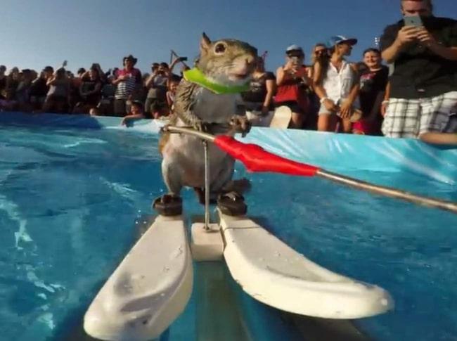 """""""Twiggy den vattenskidåkande ekorren"""" är en välkänd show i USA sedan många år."""