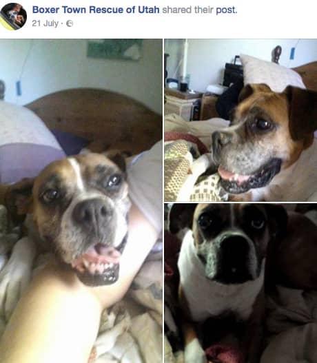 När Tawny Coates letade efter en ny boxer hittade hon Zoey på en Facebooksida. Foto: Facebook
