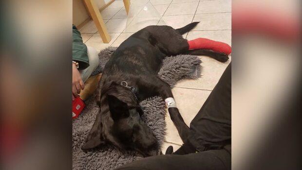 Hunden Kina blev påkörd – bilisten lämnade fel uppgifter