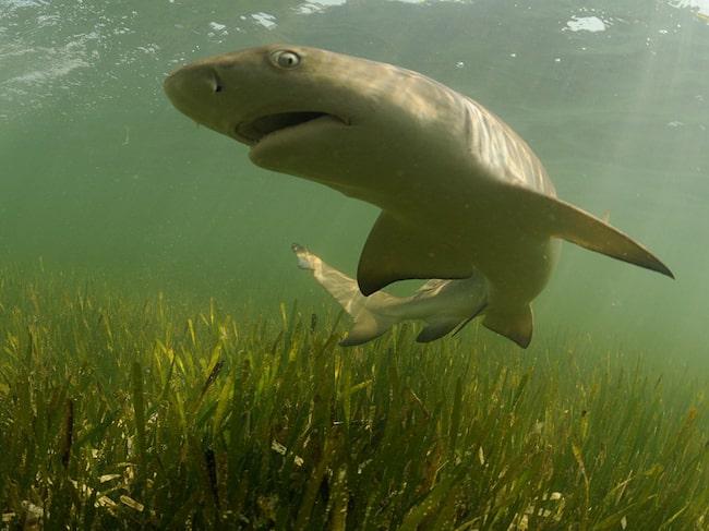 Florida är den amerikanska stat med flest hajattacker. Citronhajen (bilden) trivs i Floridas korallrev.