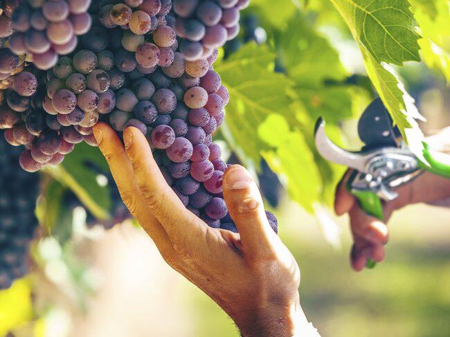 Sangiovese odlas främst i distrikten Toscana och Emilien-Romagna.