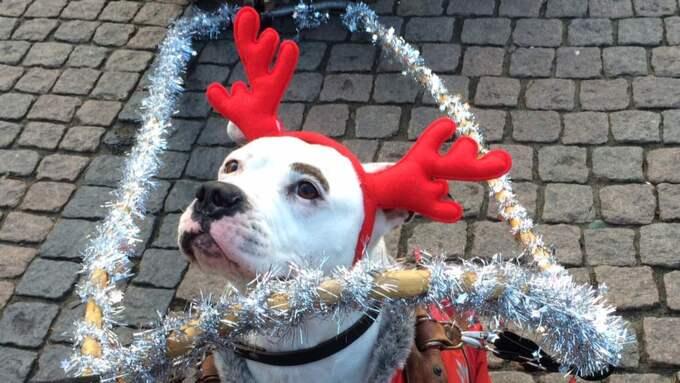 Fin ren. Lilla Doris fick äran att vara årets julren, klädd i matchande röda renhorn. Foto: Karin Lundgren