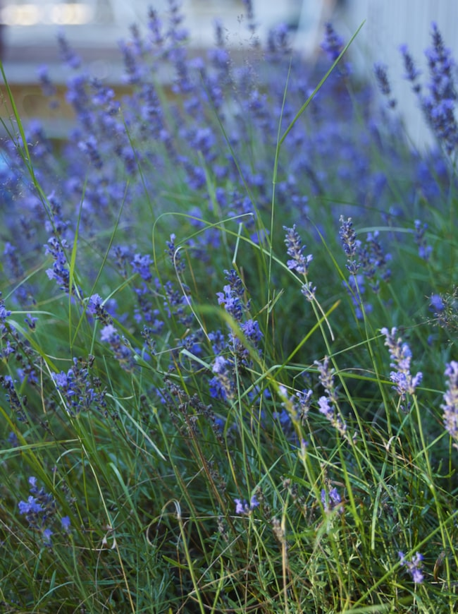 Blått & grönt. Utanför huset blommar lavendel i stora mängder och sprider ljuvlig doft.