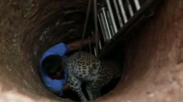 Här räddas leoparden ur den nio meter djupa brunnen