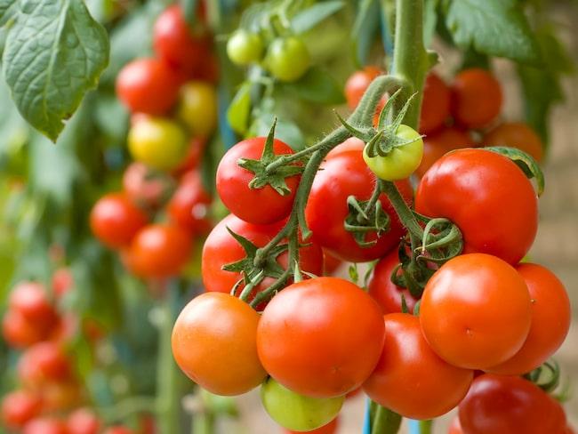 hur mycket väger en tomat