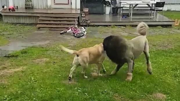 Svens hund misstogs för lejon –anmäldes