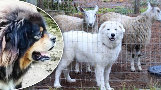 Domstolsbeslut: Störande hundar ska opereras för att skälla tystare