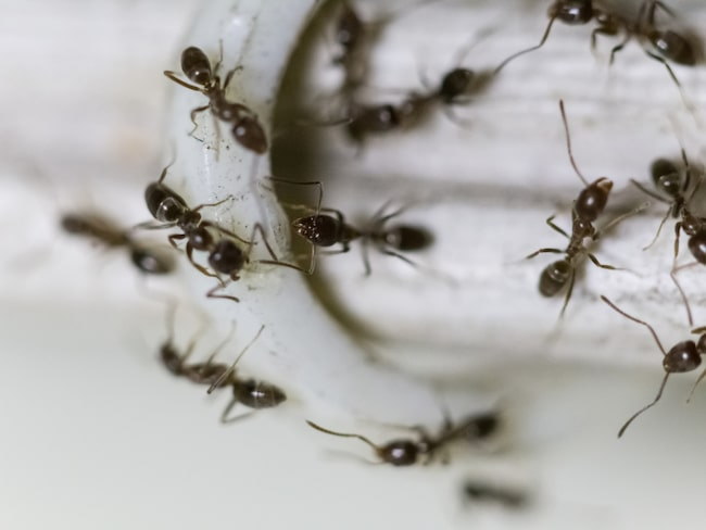 Många har problem med myror i hemmet. Ofta kan det räcka med att tvätta området där de kommer in med såpa, så kommer det inte in några fler.