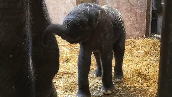 Elefantkalven har inte fått något namn än – fokus är att få den att överleva. Foto: BORÅS DJURPARK