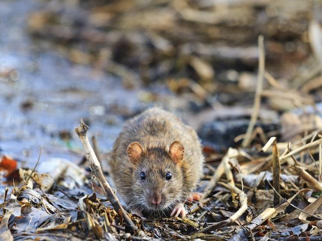 Allt sedan 2011 har antalet råttsaneringar ökat explosionsartat och i år förväntas nya rekord slås.