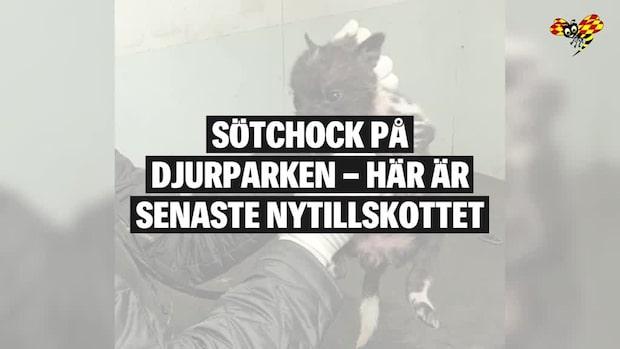 Sötchock – här är några av Borås djurparks småttingar